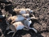 hare-hunt-hungary-diana-hunts-2