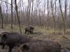 hunting-wild-boar-in-hungary-diana-hunts