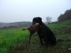Hunting pheasants in Hungary with Labrador dogs. Chasse au faisan en Hongrie.